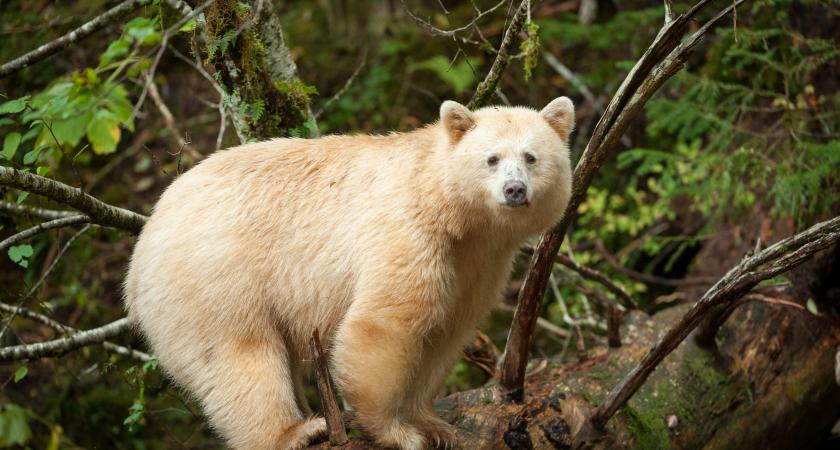 Great Bear Rainforest 3d Temporarily Closed Montreal Science Centre